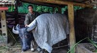 """Hàng nghìn trâu, bò bị chết rét: Nông dân phải chủ động giữ """"đầu cơ nghiệp"""""""