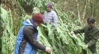 """Hà Giang: Sau 3 ngày xảy ra băng tuyết, thứ cây trồng trong rừng ra """"quả vàng"""" này có nguy cơ mất trắng"""