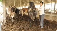 An Giang: Một ông nông dân U70 mở trang trại nuôi bò khủng, trồng chuối sạch bán cho Tây, lời nhẹ nhàng 5 tỷ/năm