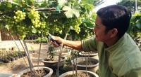 Trồng cây gì chơi Tết: Nho cảnh Ninh Thuận hình dáng lạ, khách đến tận vườn đặt mua tới tấp