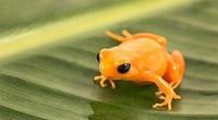 Loài ếch vàng cực độc, chỉ dài 1 inch đang trên bờ vực tuyệt chủng