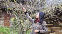 Sơn La: Sợ dân khó tiêu thụ đào rừng nhà trồng, Vân Hồ tung 11.000 tem truy xuất đào, phát miễn phí
