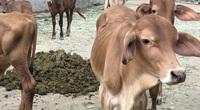 """Đồng Nai: Cận cảnh trang trại nuôi bò """"khủng"""", mới lấy phân thôi mà ông nông dân này lời 1 tỷ/năm"""