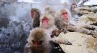Thiên đường spa tự nhiên dành riêng cho loài khỉ tuyết ở Nhật Bản