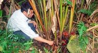 Lào Cai: Nông dân vô rừng rậm trồng loài cây gì mà bán 1 mùa quả cả trăm tỷ đồng, nhưng vẫn nhiều mối lo?