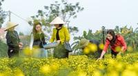 Mạnh dạn bỏ đất lúa không hiệu quả, trồng loài cúc vàng rực làm dược liệu, nông dân Hưng Yên đổi đời