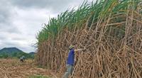 TTC Sugar tăng giá thu mua, nông dân trồng mía phấn khởi