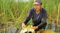 Cà Mau: Cây bồn bồn xưa là cỏ dại, nay dân trồng lại, bóc ra trắng nõn nà, mang lên bờ thương lái khuân sạch