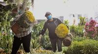 Hoa kiểng Tết đã bán tại Sài Gòn, nhiều người tranh thủ mua sớm vì giá rẻ