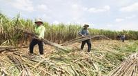 Sóc Trăng: Vì sao doanh nghiệp bất ngờ đưa người xuống ruộng chặt mía, vận chuyển giúp nông dân?