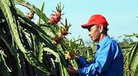 Bình Thuận: Các vườn trồng thanh long vắng lặng bất thường, thương lái tiết lộ lý do này