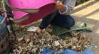 Vô rừng vùng biên viễn Lào Cai săn thứ nấm quen mà lạ, ăn một miếng bổ dưỡng khỏe cả người
