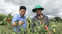 """Gia Lai: Trồng thứ cây ra trái """"ngỏng lên trời"""", nông dân trúng đậm, sao ngành chức năng vẫn cảnh báo?"""