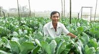 Sóc Trăng: Trồng thứ rau bông cải công nghệ cao, cây nào cũng to, bán dịp Tết đắt hàng