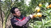 Trồng cây gì bán Tết 2021: Cam Xã Đoài là giống cam gì mà bán giá cao ngất ngưởng 130.000/quả?