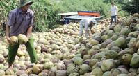 Trà Vinh: Hạn mặn hoành hành như thế, loài cây này vẫn ra trái quá trời, cứ 10 hộ nông dân có 4 hộ trồng