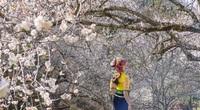 Hoa mơ nở tuyệt đẹp ven cánh rừng Mộc Châu
