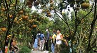 Vườn quýt hồng lúc lỉu trái vàng rực rỡ đẹp cỡ nào mà khiến người dân đổ xô đi check in ở miền Tây?