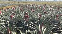 Khóm phụng: Nghề trồng độc lạ giúp người dân thu bộn tiền dịp tết