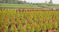"""Cánh đồng hoa ở Sài Gòn chớm nụ chào Tết, chủ vườn """"ăn ngủ"""" cùng hoa"""