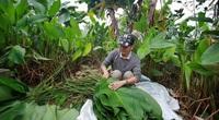 """Nông dân làng Hà Nội """"hốt bạc"""" nhờ trồng loại lá không thể thiếu dịp Tết Nguyên Đán"""