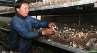 Hà Nam: Thứ người ta bỏ đi, anh nông dân lấy về trồng loài nấm tròn như trứng, thu 3 tỷ đồng/năm
