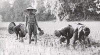 Vì sao người Việt gọi cơm tẻ là mẹ ruột?