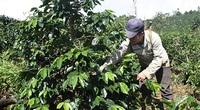 Kon Tum: Cây làm giàu ở Đông Trường Sơn là cây gì mà giúp nhiều nông dân từ nghèo vươn lên thành khá giả?