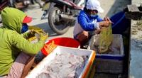 """TT-Huế: Cá khoai xuất hiện nhiều, mỗi ghe bắt 40-50 kg cá đặc sản này, lên bờ thương lái xúm vào """"khuân"""" hết"""