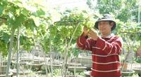 Ninh Thuận: Phát sốt với những cây nho kiểng thấp tè đã đeo cả chục chùm trái tươi ngon bắt mắt