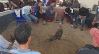 Đắk Lắk: Bắt hàng chục đối tượng chơi đá gà cá cược bằng bia và thuốc lá