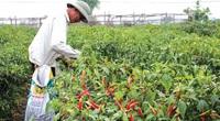 Thái Bình: Giá ớt lên vù vù, bí đỏ, ngô nếp cũng bán chạy, nông dân ra đồng là có tiền triệu