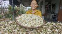 Đà Nẵng: Trồng cây ra củ màu trắng ngà, cay nồng, nông dân Hòa Nhơn bội thu dịp Tết