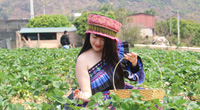 Vườn dâu tây chín đỏ trên cao nguyên Mộc Châu, trai thanh gái lịch rủ nhau xuống hái
