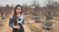 [LIVE] Thăm vườn đào khủng nhất làng Nhật Tân và tìm hiểu cách chăm đào chơi Tết.