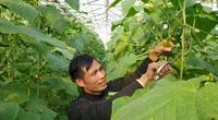 Thanh Hóa: Vườn dưa leo baby công nghệ cao, nhìn đâu cũng thấy trái, hái mỏi tay, ông nông dân kiếm tiền triệu mỗi ngày