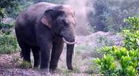 Hơn 100 hộ dân bị voi rừng phá hoại được hỗ trợ hơn 3,1 tỷ đồng