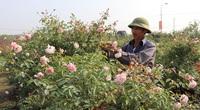 Sau cách ly vì Covid-19, làng Hạ Lôi như hừng thêm sức sống, trồng 400 cây hoa hồng khủng đã có người mua hết