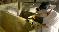 Lai Châu: Nuôi con lông nhọn như kim, đào hang rất tài, chăm nhàn tênh mà bán ngày càng có giá cao