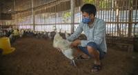 Nuôi giống gà người Mỹ làm thú cưng, Việt Nam là món đại bổ, trai Hà Nội kiếm được 60 triệu/tháng