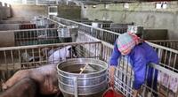 Lào Cai: Hợp tác xã nuôi lợn nhiều nhất tỉnh 6.000 con vẫn không đủ bán, cam kết giữ giá lợn dịp Tết