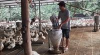 Giá gia cầm hôm nay 3/3: Cập nhật giá gà, vịt mới nhất tại ba miền, thương lái tăng mua vịt thịt