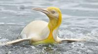 Ngây người khi phát hiện con chim cánh cụt màu vàng độc lạ, cực kỳ hiếm có