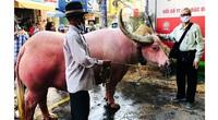 Trâu hồng hiếm có xuất hiện ở Sài Gòn: Da hồng từ lúc sinh ra, chủ qua đời còn quỳ lạy trước quan tài
