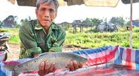 Nuôi loài cá ngon, sạch nổi danh trên sông Trà Khúc, nông dân ở đây mặt ai cũng rạng rỡ vì có thu nhập khá