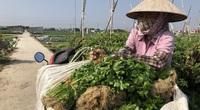 Thái Bình: Rau rẻ như cho, chỉ 8.000 đồng/15 củ su hào, nông dân cắt về cho bò ăn