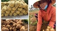 Nghệ An: Trồng khoai tây 2 loại kiểu này, nông dân ung ung đút túi 7-9 triệu đồng/sào