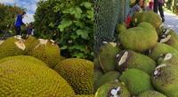 Trung Quốc mua rất nhiều mít Thái của Việt Nam, không phải để ăn tươi thì họ làm gì?