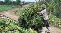 Hàng trăm tấn củ cải rớt giá thảm hại vẫn không bán được, người dân Hà Nội phải nhổ bỏ