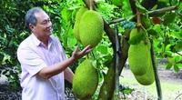 Tây Ninh: Nghe các nông dân tỷ phú tiết lộ bí quyết trồng mít Thái ra trái quanh năm, thu tiền tỷ